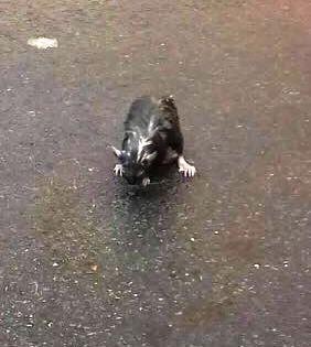 Ratto fotografato di giorno e in pieno centro a Pomigliano